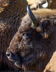 Huge American bison portrait