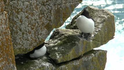 オオハシウミガラス  Razorbill sitting on a cliff