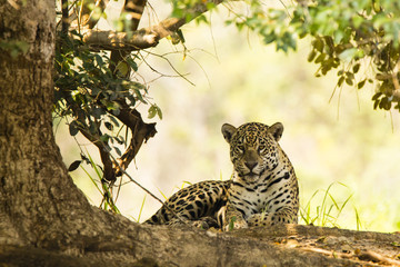 Wild Jaguar in Shade of Tree, Paw Tucked Under
