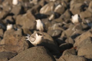 terns resting on volcanic rocks
