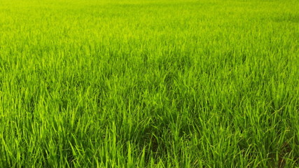 Background rice field