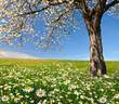 Obrazy na płótnie, fototapety, zdjęcia, fotoobrazy drukowane : field of marguerites with blooming trees