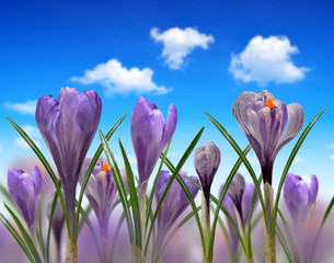 Spring flowers Crocus