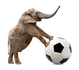 African elephant with soccer ball isolated on white