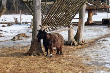 Длинношерстный черный козел на ферме