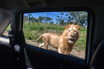 Lion Car Window Danger