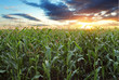 Corn field - 78565436
