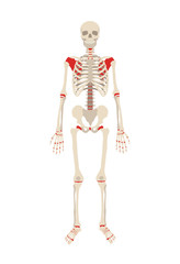 Vector skeleton flat illustration