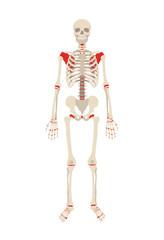 Vector skeleton flat illustration