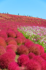 Kochia in Hitachi Seaside Park, in Hitachinaka, Ibaraki, Japan