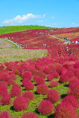 Kochia in Hitachi Seaside Park, in Hitachinaka, Ibaraki, Japan