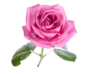 beautiful single pink rose on a white background. top view