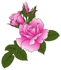 Illustration of pink roses isolated on white