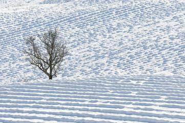 arbre solitaire au milieu d'un champ de lavande sous la neige