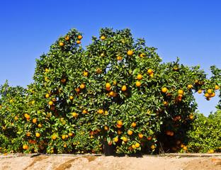 arbol lleno de naranjas