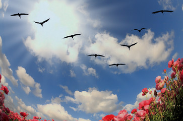 Flock of cranes flying over flowering field