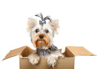 Yorkshire Terrier in cardboard box