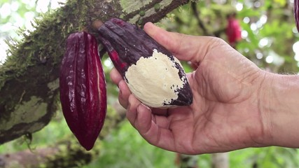 Cocoa pod suffering from Frosty Pod Rot, Ecuador