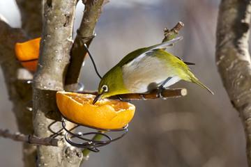 White eye Bird