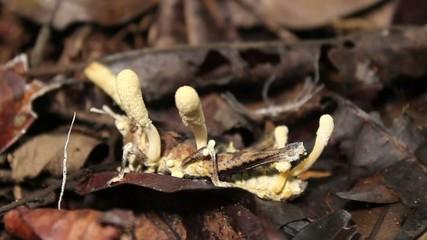 Cordyceps fungus infecting a grasshopper in rainforest, Ecuador