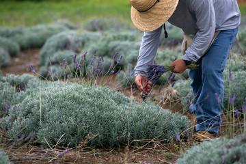 Man Harvesting Lavender