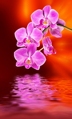 pink orchid and water reflection
