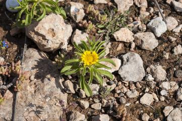 Flowers of Pallenis maritima