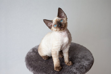 Beautiful devon rex cat sitting on the scratching post