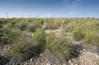 Alpha grass, Stipa tenacissima, steppe in Alicante, Spain