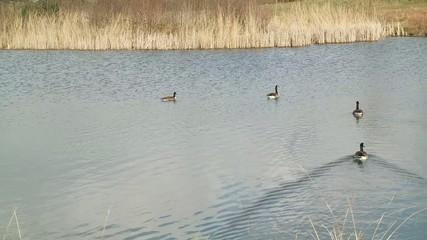 Gänsevögel im Februar