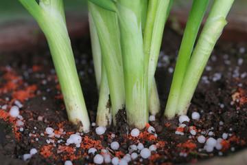 Onion plant with chemical fertilizer