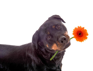 Hund mit Gerbera im Maul