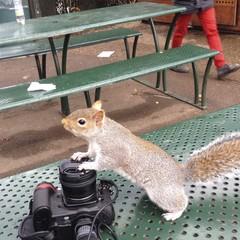 Squirrel in hyde park