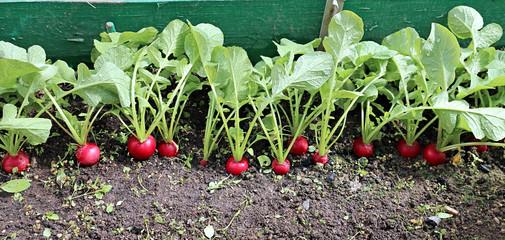 Ripe round red radish