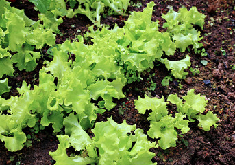 Young plant of lettuce