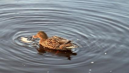 Ente Stockente, frisst Brot im Wasser