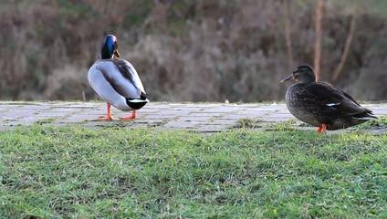 Ente, Erpel, Stockente, reinigt sein Gefieder, putzt sich