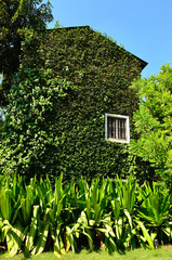 Green ivy surrounding the wall