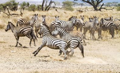 Two zebras fighting at the plains of Serengeti