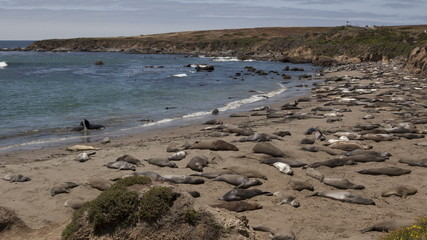 4K Time lapse zoom out of a huge colony of elephant seals