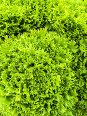 Curly green lettuce