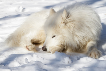 White dog the Samoyed has a rest on snow