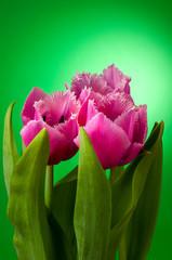three tulips on green