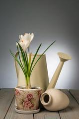 Crocuses in pot and garden tools