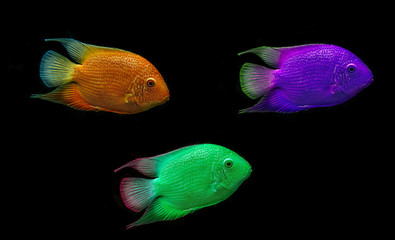 colored fish on black background
