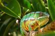 canvas print picture - Panther Chameleon (furcifer pardalis)