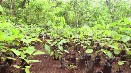 Mahogany seedlings (Swietenia macrophylla)