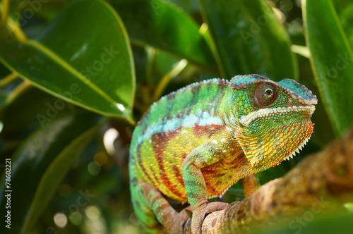 canvas print picture Panther Chameleon (furcifer pardalis)