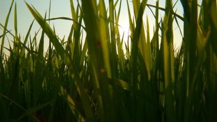 The sun flare through the grass