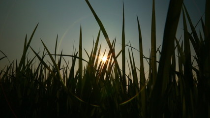 The sun flare through the grass dark